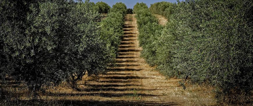 travailler bois d'olivier
